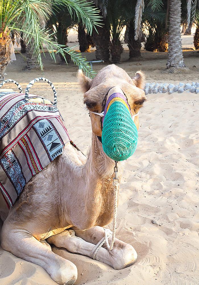 camel-arabian-desert