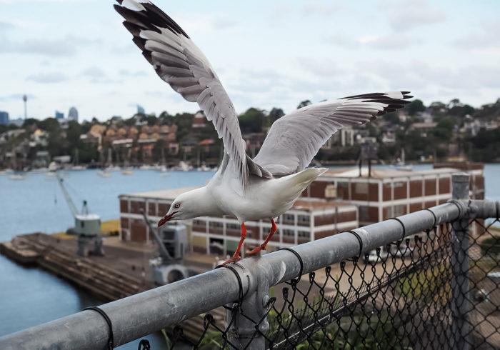 cockatoo-island-seagulls