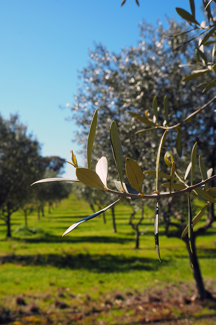 karabool-olive-leaf