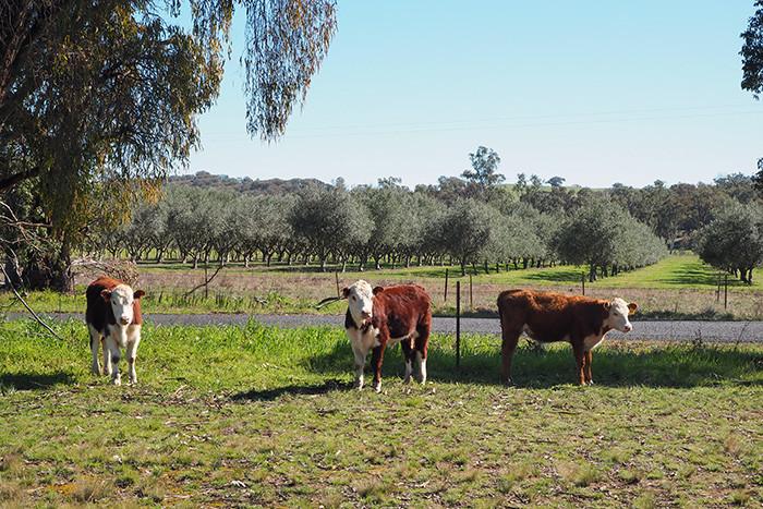 karabool-olives-cows