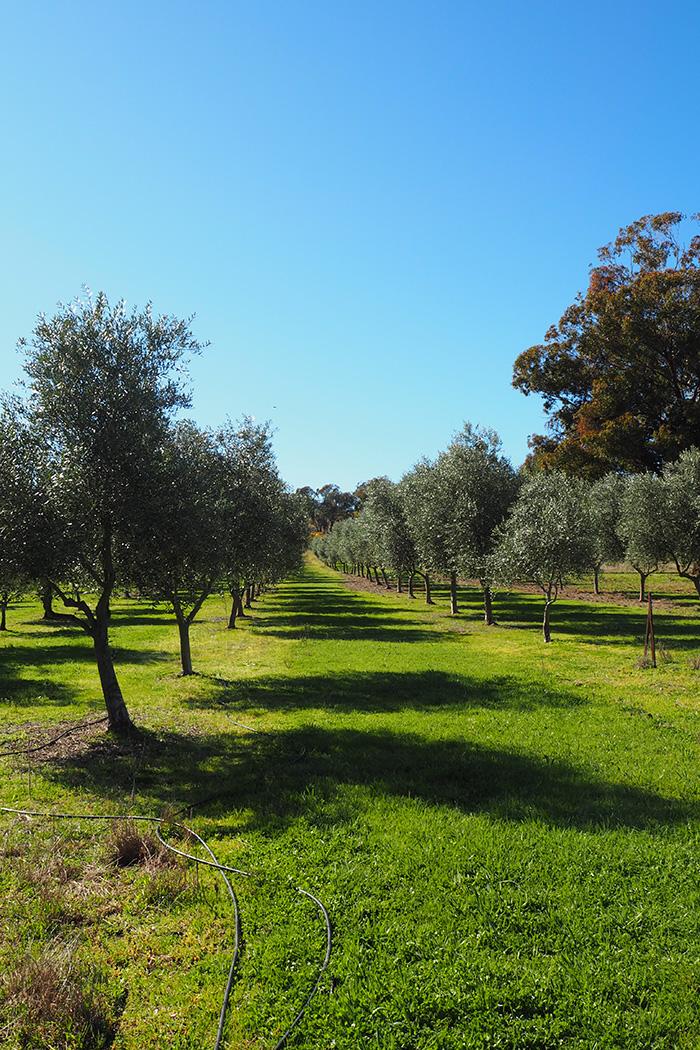 karabool-olives-view
