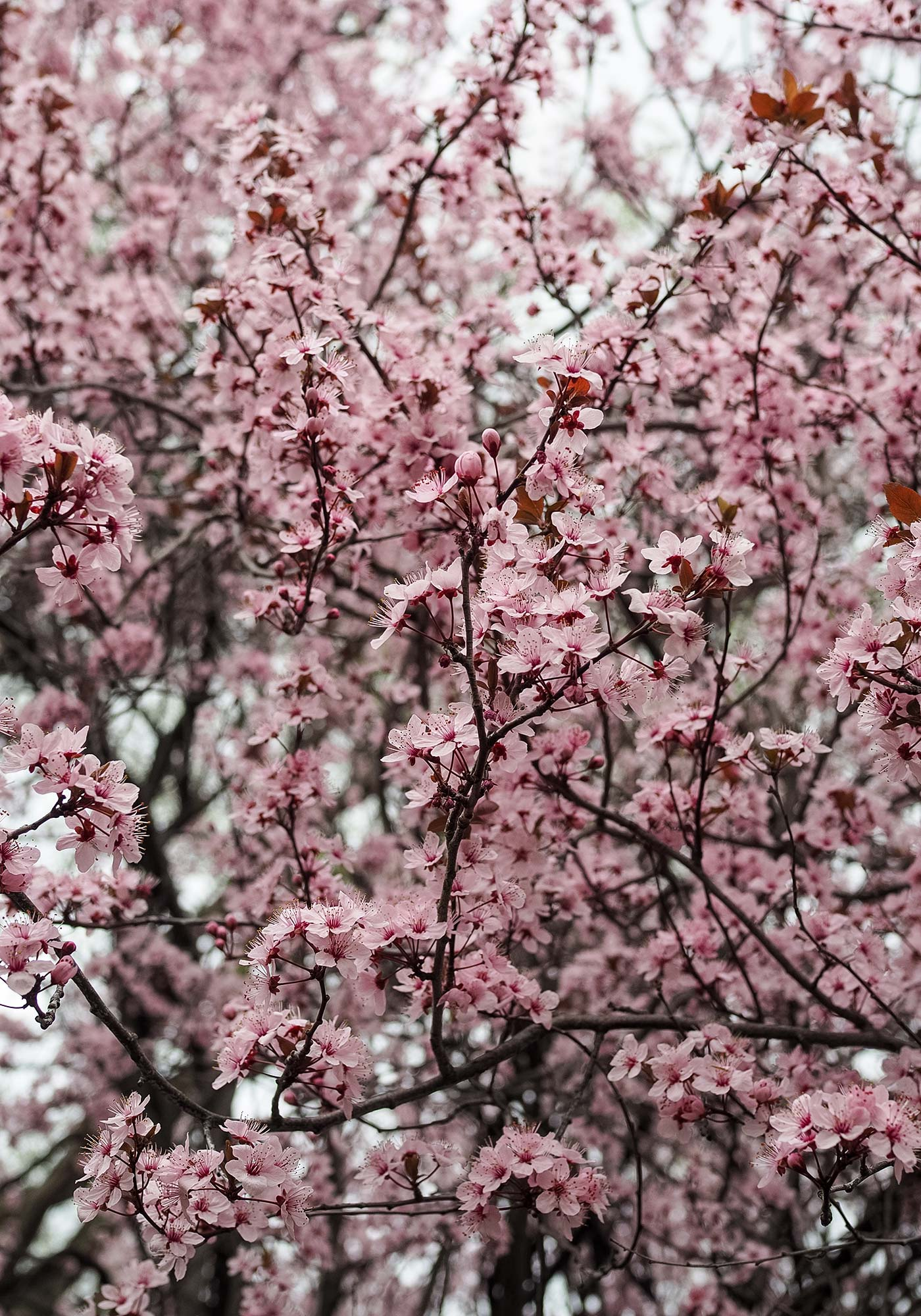 orange-cherry-blossoms