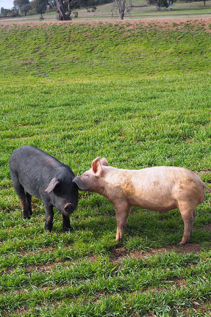 robert-stein-pig-secrets