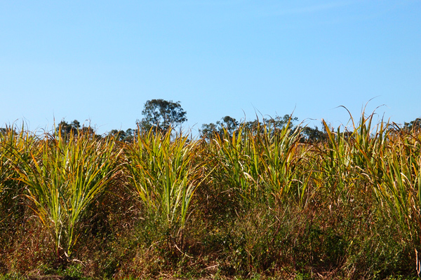 sugar-cane-fields