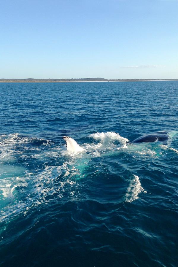 whale-watching-hervey-bay2