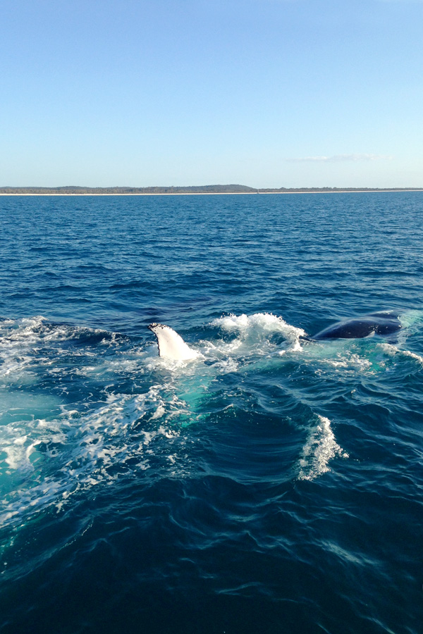 whale-watching-hervey-bay2