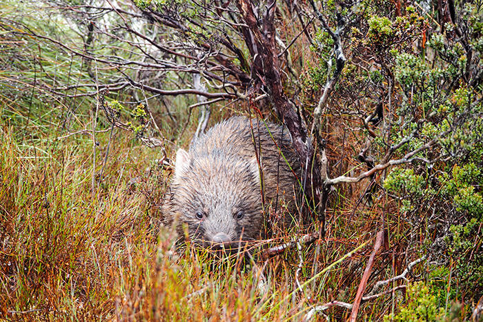 wombat-hike