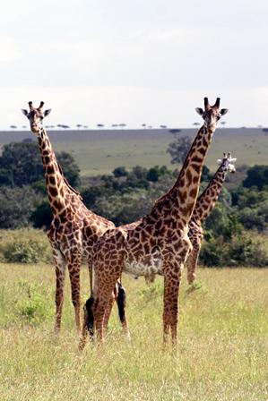 East Africa 2012_giraffe