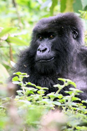 East Africa 2012_gorilla_7