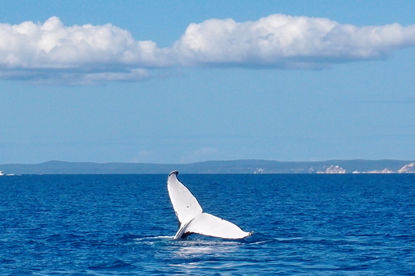 whale-watching-hervey-bay3